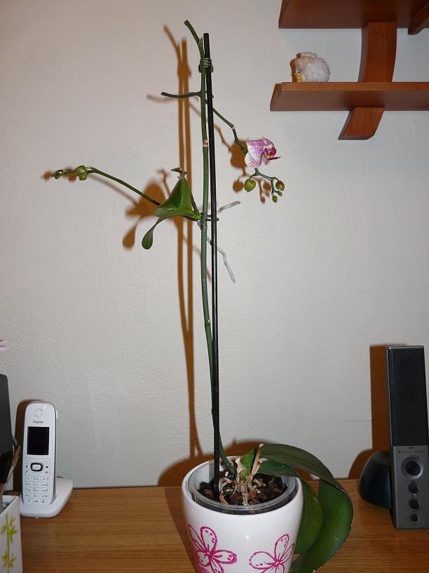 orchidee qui fleurit