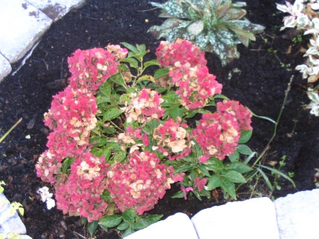 Afficher le sujet comment pr parer mon hydrang e pour l hiver - Comment tailler les geraniums pour l hiver ...