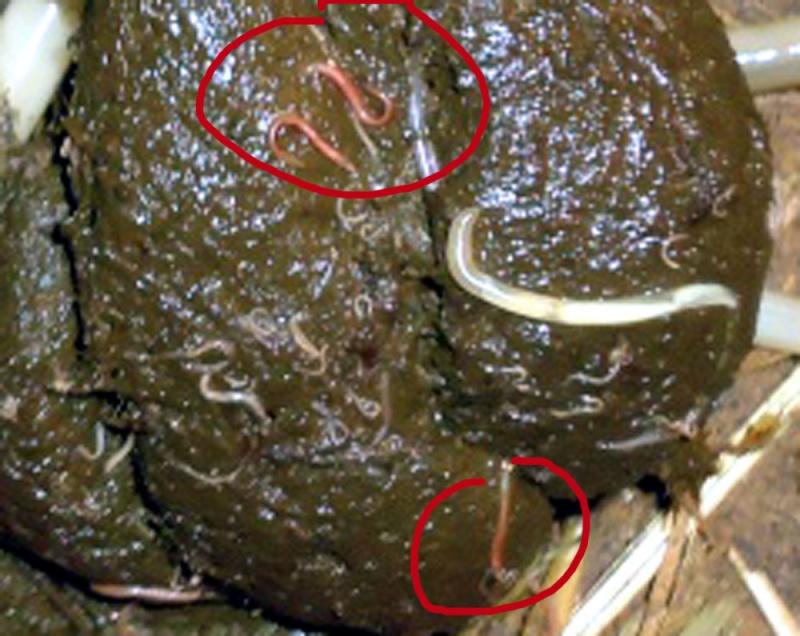Lankylostome les helminthes chez la personne