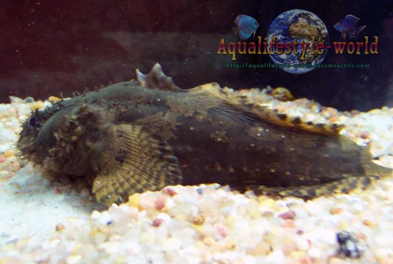 Batrachomoeus trispinosus for Nourriture poisson rouge super u