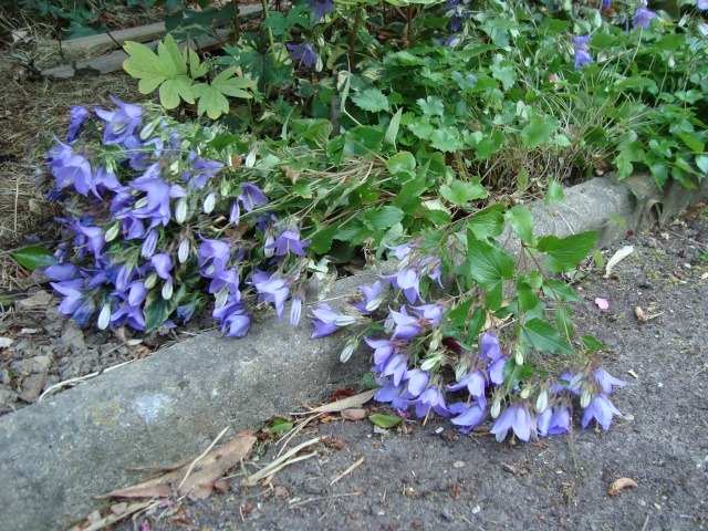 Plantes Vivaces Couvre Sol Page 14 Au Jardin Forum De Jardinage