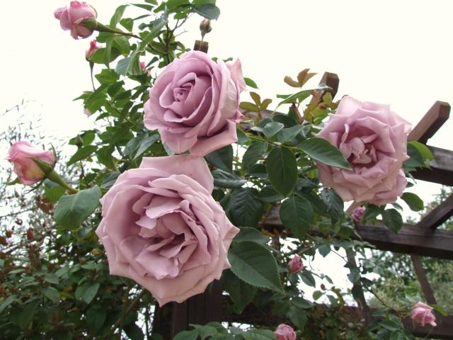 фото розы барок