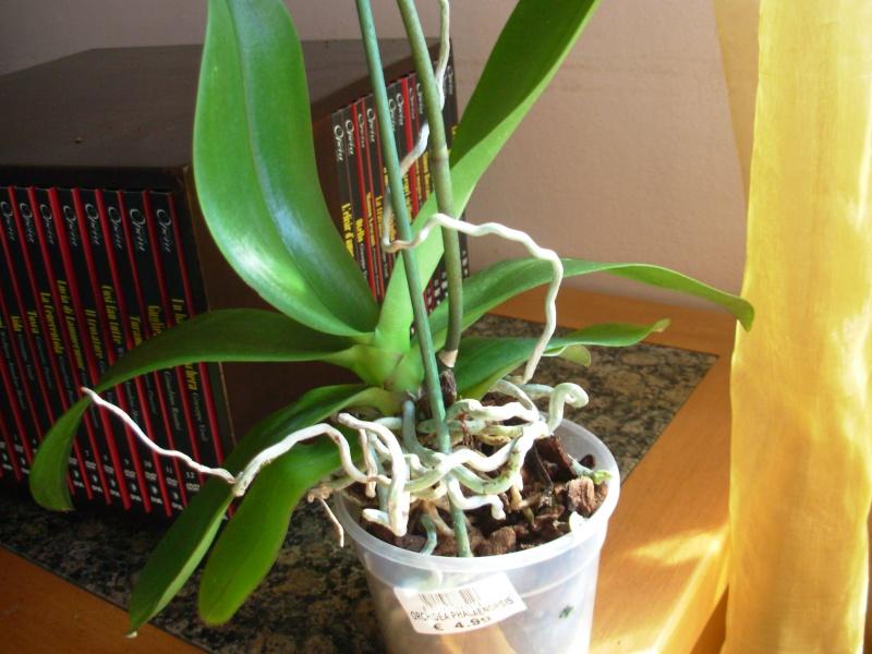 Che orchidea per me pagina 2 forum giardinaggio for Radici orchidea