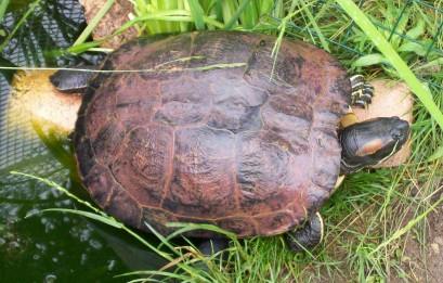 Ma tortue de floride - Bassin tortue floride strasbourg ...