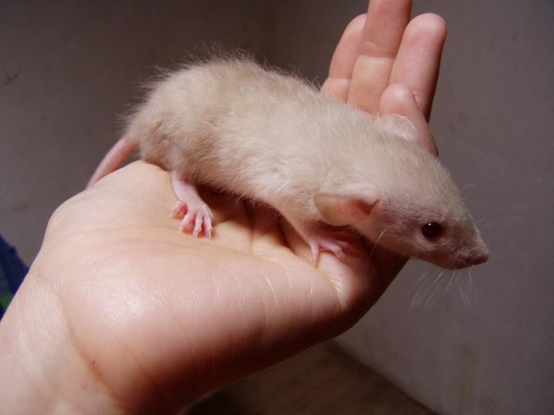 rats_520.jpg