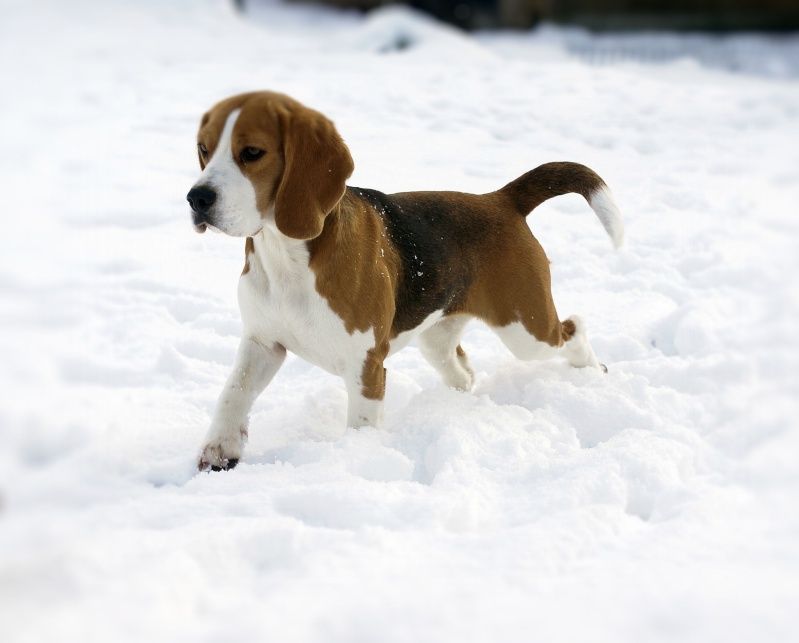 Pin Chats-chiensfr-les-chiots-beagle-vendre on Pinterest
