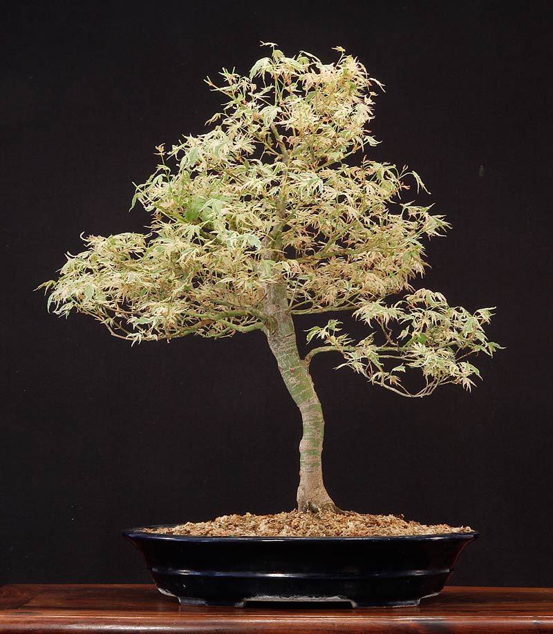 Butterfly Japanese Maple Bonsai Butterfly Japanese Maple