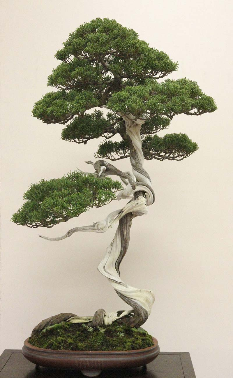 Top cascading bonsai images for pinterest tattoos for Famous bonsai trees