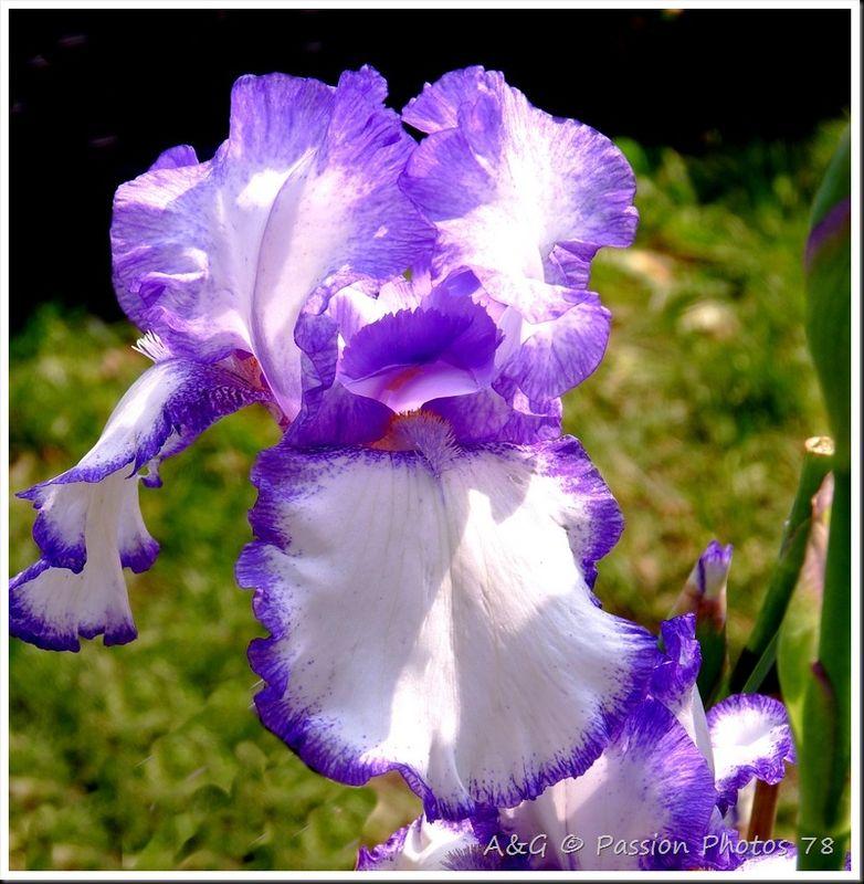 Les iris de toute les couleurs - Langage des fleurs iris ...