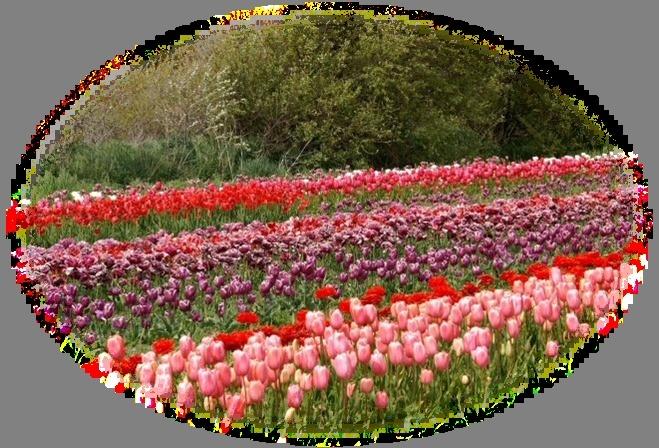 Les tulipes de differentes couleurs et esp ces - Differentes especes de pins ...