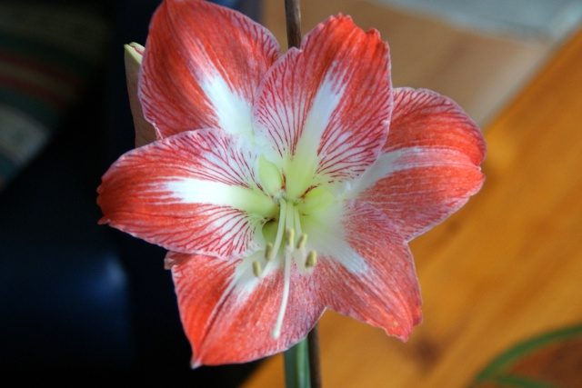 Amaryllis page 2 for Arrosage amaryllis