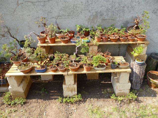 Dove coltiviamo i nostri bonsai pagina 10 for Dove comprare bonsai