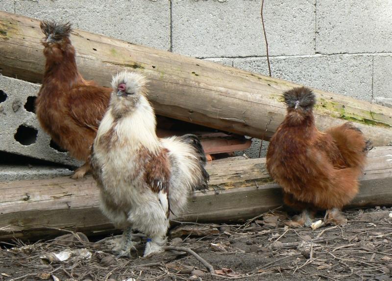 poule soie froment
