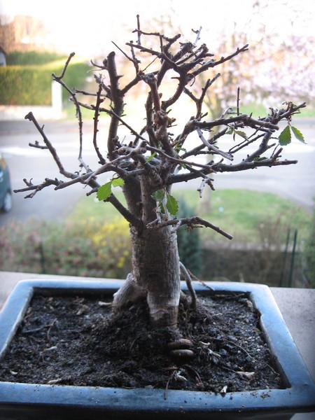 odc qui perd ses premiere feuilles feutrage blanc sur le tronc mon bonsai ne va pas bien. Black Bedroom Furniture Sets. Home Design Ideas