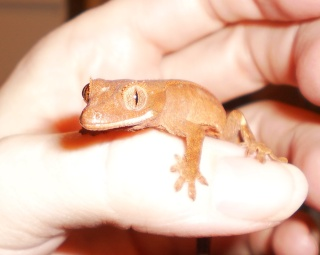 how to get your crested gecko to like you