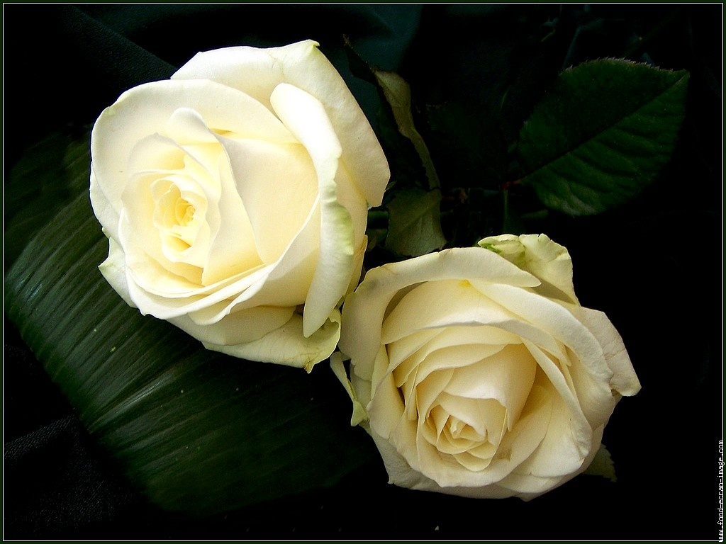 الورد,الأبيض,خلفيات,معانى,ورد,أبيض,ورود,بيضاء