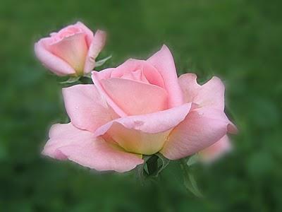 لغة,الورود,الوردالأصفر,الوردالأحمر,الوردالأبيض,الوردالأزرق