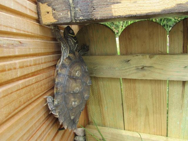 Le bassin de ma future graptemys - Bassin pour tortue aquatique villeurbanne ...