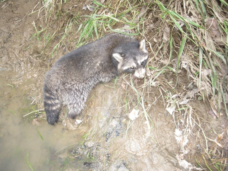 how to make a raccoon trap