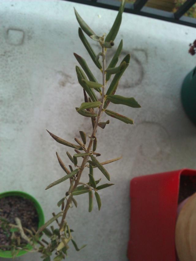 bébés pommier / problème d'olivier en pot.